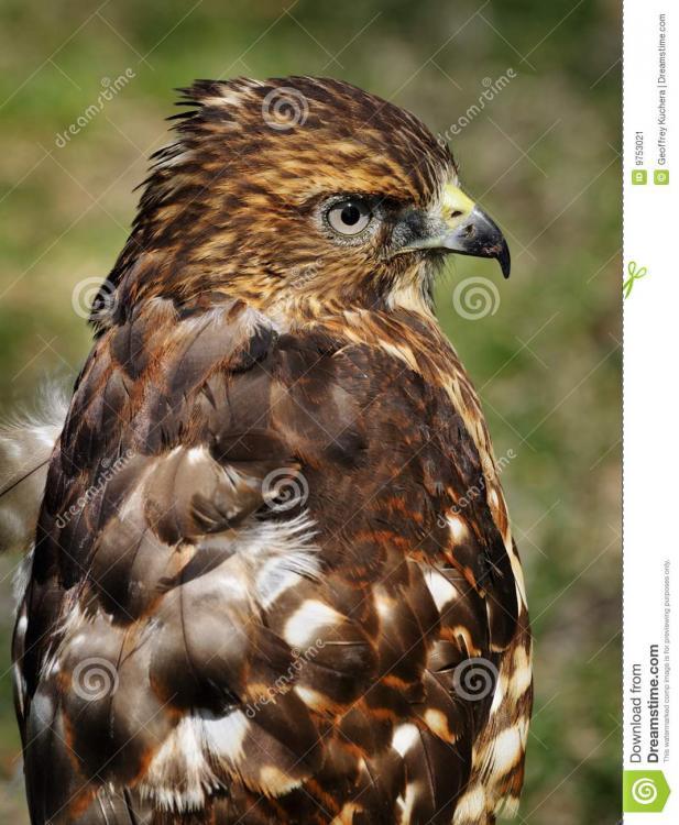 broad-winged-hawk-ruffled-feathers-9753021.jpg