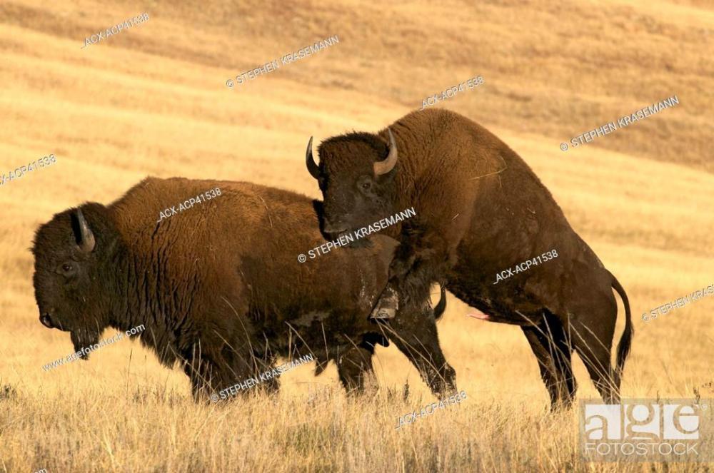 bison bulls mating.jpg
